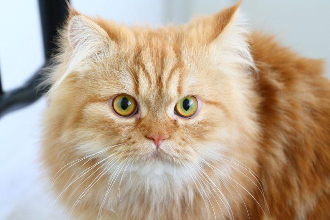 Из-за длинной шерсти, которую коты постоянно вылизывают, в желудках у них формируются комочки. Для их выведения требуются специальные пасты и таблетки