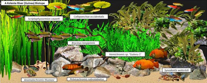Пример аквариумного сообщества с Хромисами