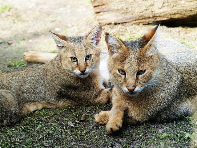 В домашних условиях камышовая кошка очень послушна и легко обучается