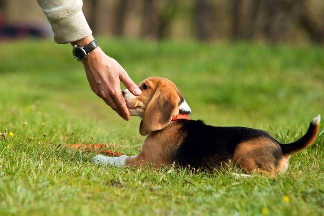 Постепенно от поощрений лакомством можно переходить к словесной похвале. Со временем собаке будет и этого достаточно
