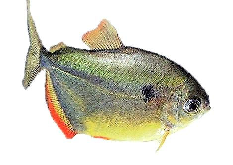 Метиннис Обыкновенный (Metynnis hypsauchen) имеет черное пятно.