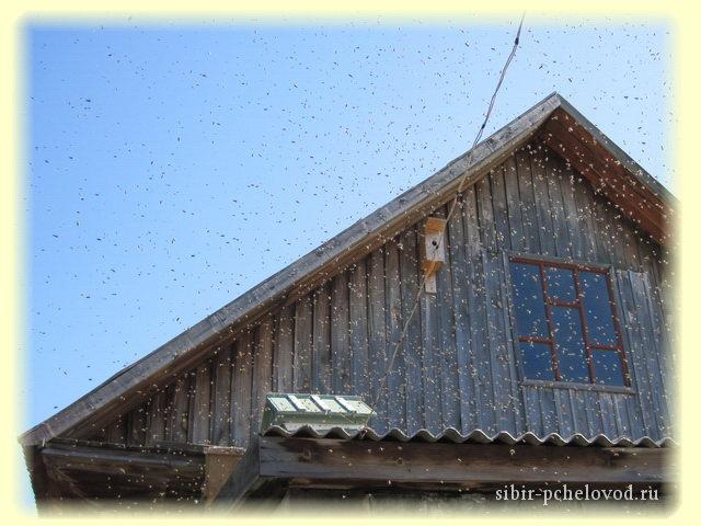 Поимка роя пчел в пустой улей