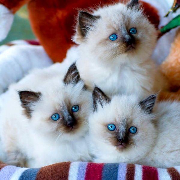 Довольно часто за рэгдоллов могут принимать их близких родственников – бирманских кошек, потому что они очень похожи по окраске. Но стандарты рэгдолла довольно сильно отличаются и весьма строги