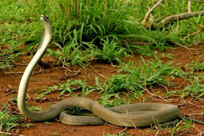 В Африке обитает Черная Мамба, змея, которая одной порцией яда способна отправить на тот свет несколько человек