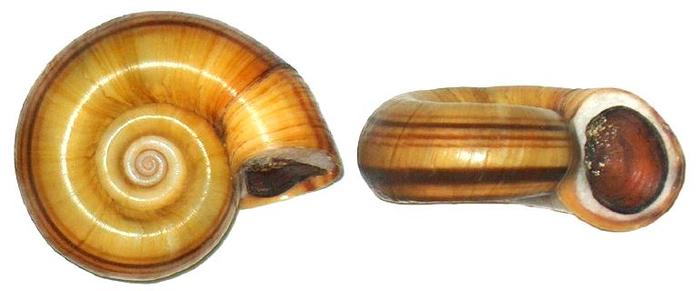 Внешний вид Гигантской Катушки (Marisa cornuarietis).