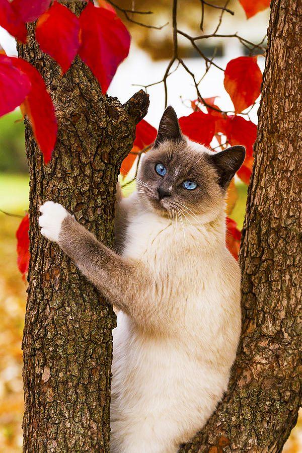Сиамская кошка - еще один хранитель храмов и настоящий друг любого буддиста