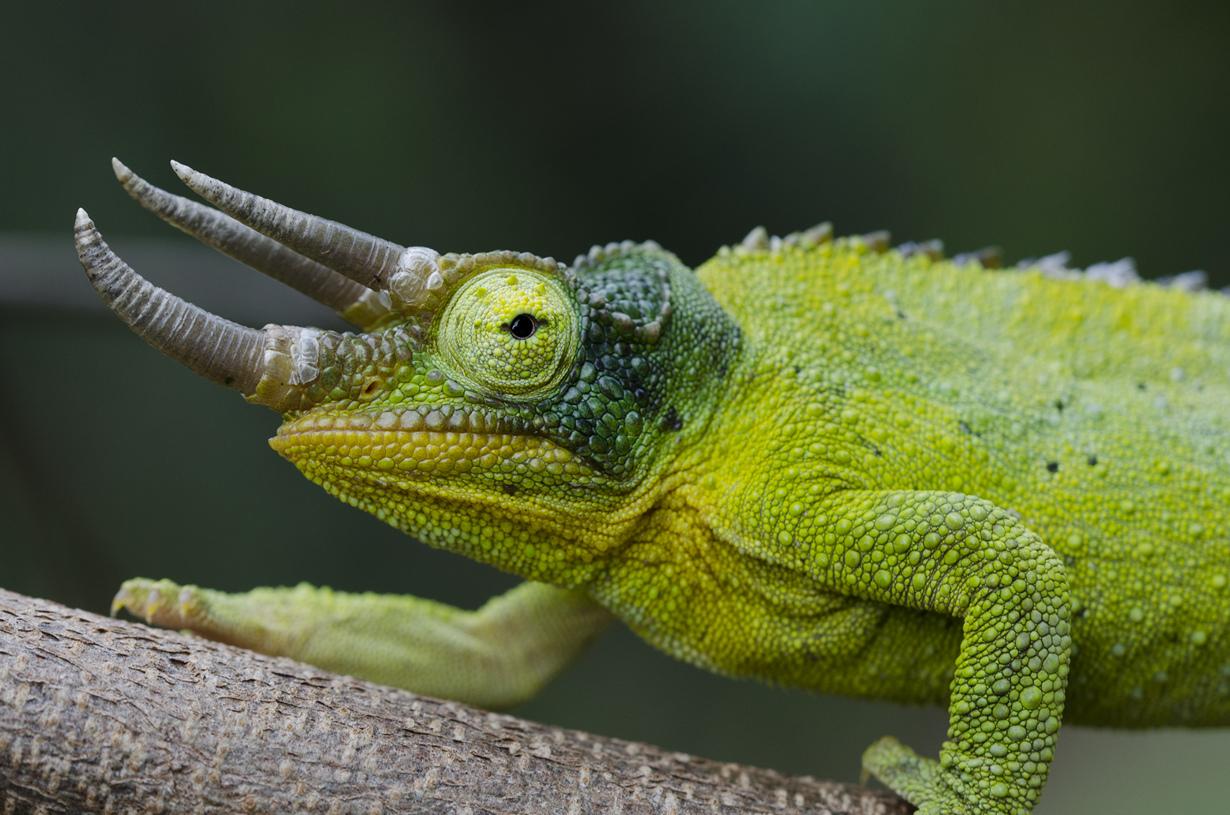 Ареал обитания — Восточная Африка. (Patrick Randall)