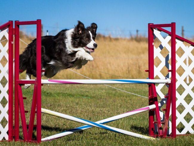 На самом деле начинать тренировки аджилити можно в любом возрасте. Собаке все равно пойдет это на пользу