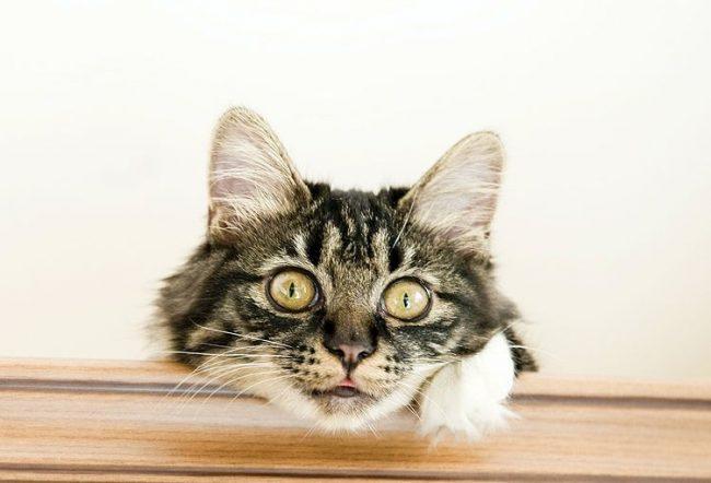 Курильские бобтейлы - необычайно здоровая порода представителей семейства кошачьих. Многовековой естественный отбор исключил генетические и врожденные заболевания у этих кошек