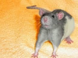 Некоторые крысы хрюкают как морские свинки