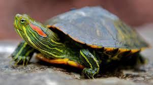 Стрижка когтей черепахе