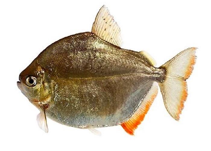 Метиннис серебристый (Metynnis argenteus) взрослая рыба.