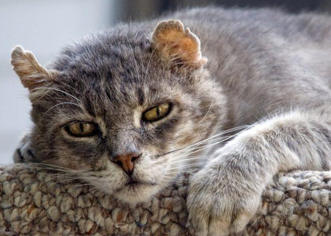 Чумка у кошек симптомы