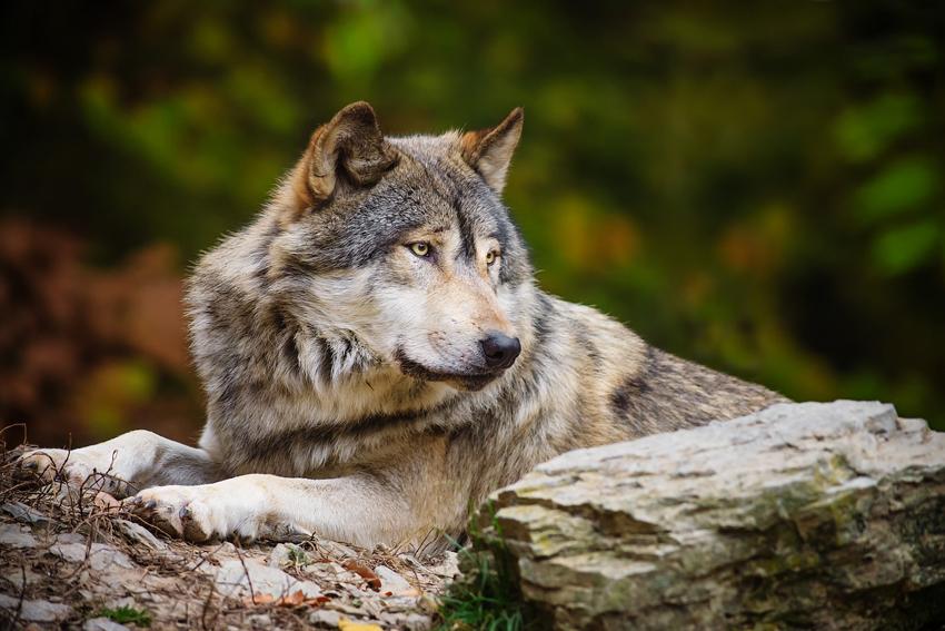 Волк зоолайф