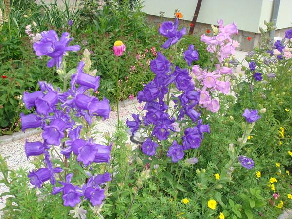 Цветок колокольчики уход и посадка