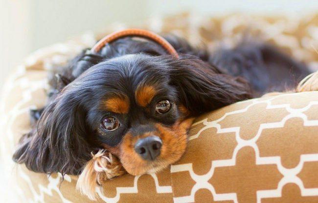 Когда собаку укусил клещ, главное не паниковать, а знать, что делать в этой ситуации