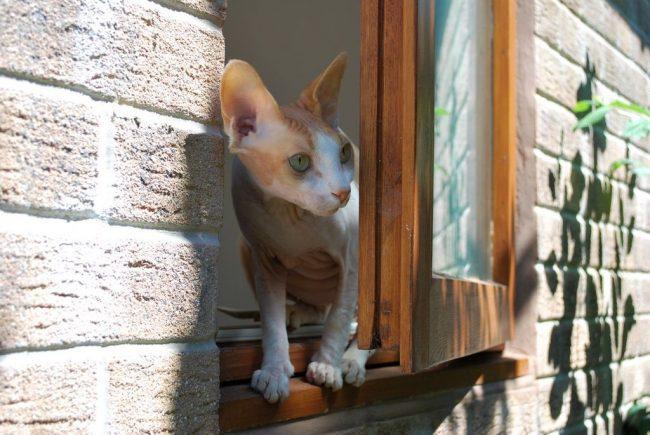 Кот донской сфинкс – очень домашнее животное. Его полностью удовлетворяет обитание в квартире или доме. А если есть возможность безопасно позагорать на балконе или подоконнике – это вообще класс