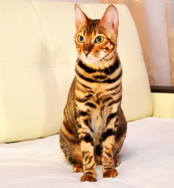 Тойгер кошки легко усваивают правила поведения в доме, сразу запоминают, где лоток и когтеточка. Также их без особого труда можно обучить различным трюкам