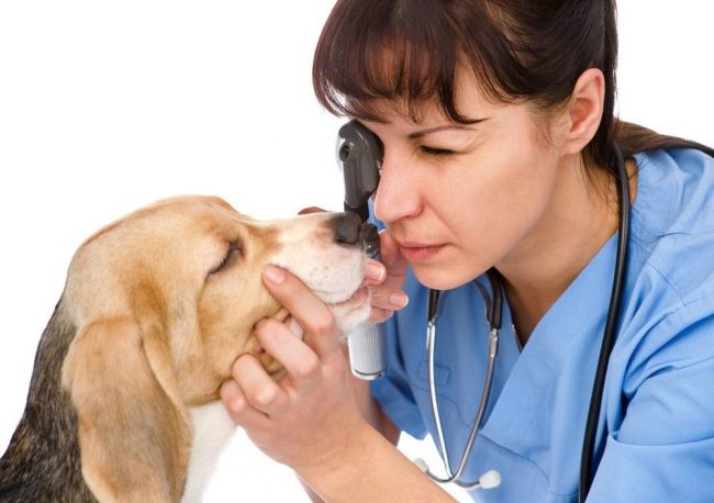 Наиболее эффективным способом лечения катаракты у собак считается операция, при которой помутневший хрусталик заменяется интраокулярной линзой, или ИОЛ. В некоторых случаях ИОЛ заменяется искусственным хрусталиком, внедряющимся в глаз животного