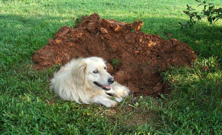 Картинки по запросу Почему собака роет ямы во дворе
