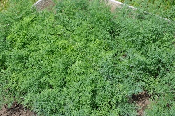 vyrashhivanie-zeleni-otkrytom-grunte-1
