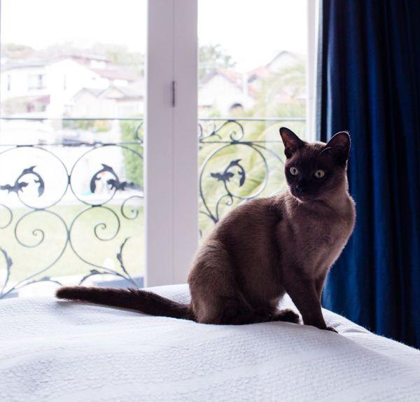 Бурманская кошка любит повсюду следовать за своим хозяином, поэтому ее еще называют кошка-собака