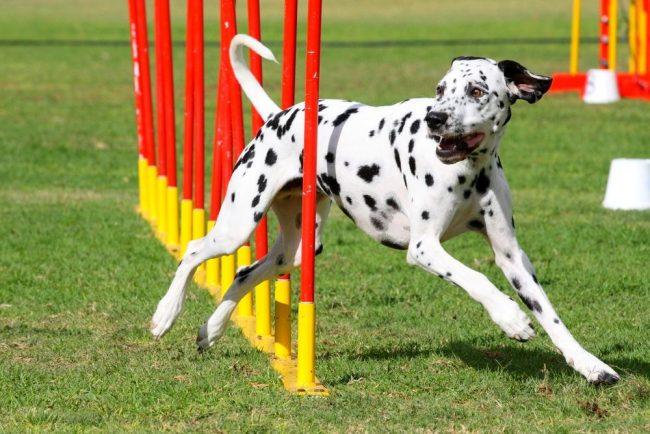 Главное в аджилити для собак – максимально грамотное преодоление всех препятствий. Скорость тоже играет роль в присуждении приза, но, если собака преодолела трассу очень быстро, при этом сбив все, что нельзя сбивать, высоко это не оценится