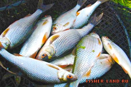 ловля на хлеб, ловля рыбы на хлеб, высечка для хлеба, хлеб для рыбалки