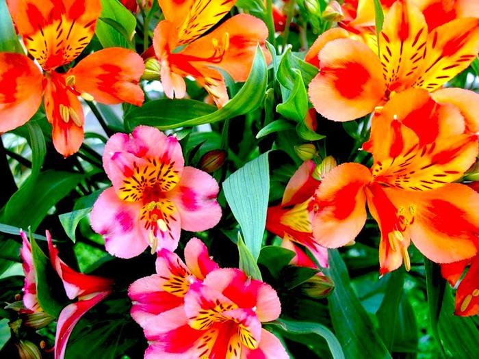 Цветы похожие на лилии только маленькие 54