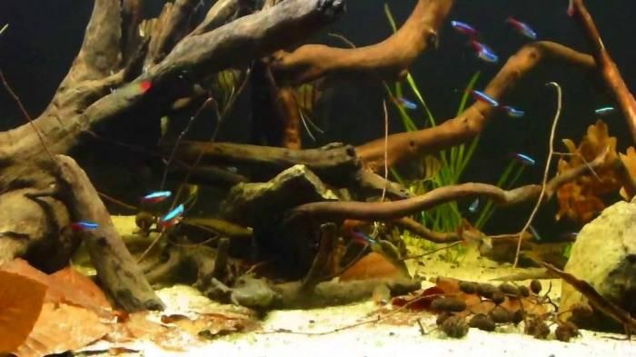 Аквариум-биотоп реки Мадейра - сообщество рыб.
