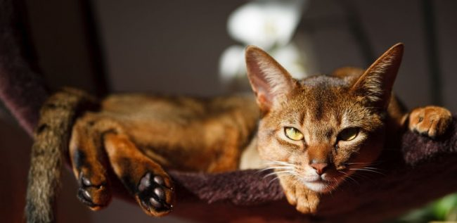 Абиссинские кошки не любят одиночества, поэтому сильно нуждаются в ласке и внимании
