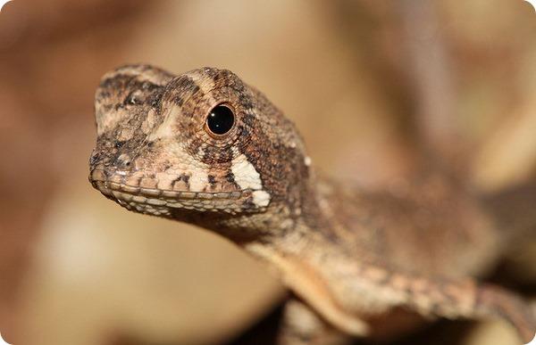 Цейлонская скрытоухая агама (лат.Otocryptis wiegmanni)