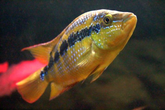 Цихлазома сальвини может сосуществовать только с рыбами такого же вида, или же совершенно одна