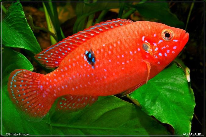 Хромис красный (Hemichromis lifalili) самка / фото Hristo Hristov.
