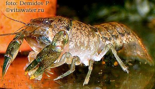 Самка кубинского рака (Procambarus cubensis)