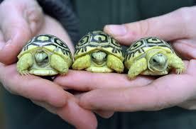 Так выглядят пятнистые черепахи