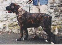 Бельгийский мстиф (Фламандская упряжная собака, бельгийский матен)