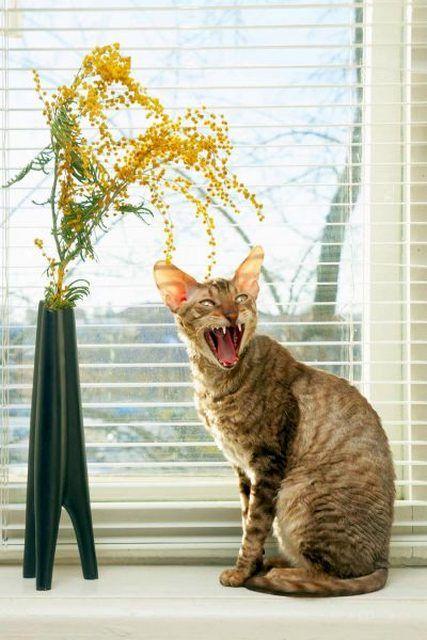 Корниш-рекс очень обидчива. Киса остро реагирует, когда на нее кричат или неласково обходятся. Но, порасстраивавшись часик-другой, она снова будет ласкаться к тому, на кого «дулась»