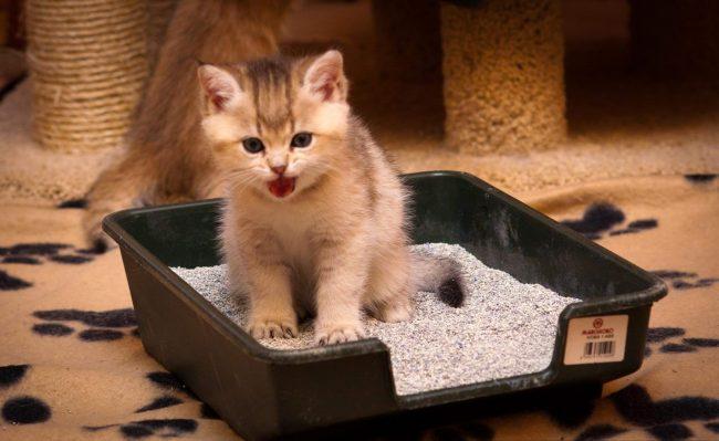 Как приучить котенка ходить в лоток