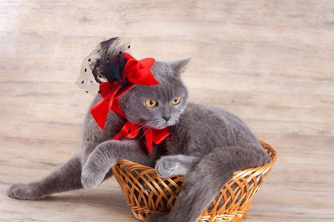 Британские кошки обладают великолепным чувством стиля