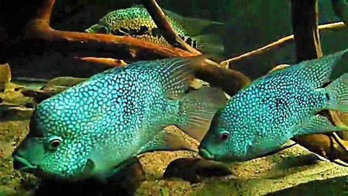 Бриллиантовая Цихлида - пара, в общем аквариуме.