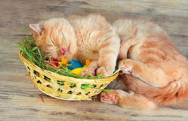 Британский кот помогает готовиться к празднику Пасхи