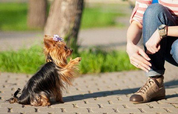 Картинки по запросу Дрессировка и воспитание собак декоративных пород