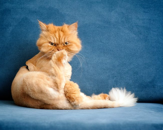 Участие во всех семейных делах для этих котов – необходимость, хоть они и весьма любят возлежать на чем-нибудь мягком