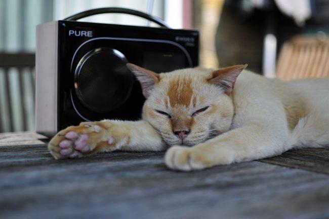 Бурманская кошка будет требовать от вас максимум внимания Хорошо, если есть в доме дети, которые смогут развлекать питомца