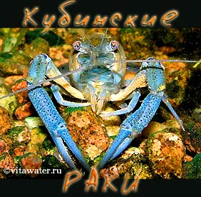 Кубинский рак Procambarus cubensis