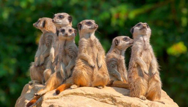 Сурикат. Главным принципом существования стаи является коллективизм – животные охотятся, питаются, отдыхают вместе. Общими усилиями сурикаты могут осуществлять довольно серьезные боевые операции