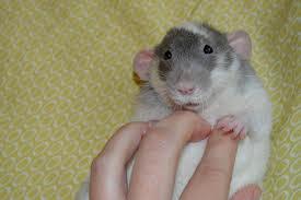 С помощью звуков крысы демонстрируют своё настроение