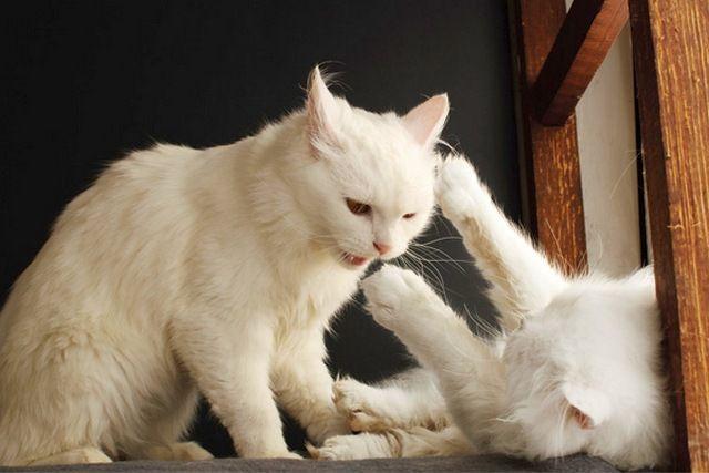 Отстригайте когти у вашей кошки раз в три недели, чтобы она на царапала себя и окружающих