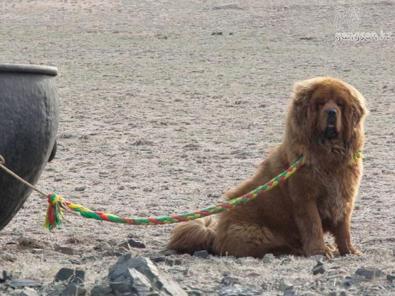Тибетский Мастиф Тибетский Мастиф, собака